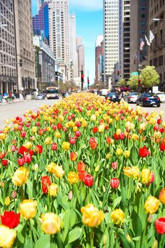 Spring Blossom Chicago Tulips Big City Chicago