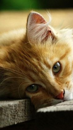 Ginger sweetheart. Cat kitten adorable gorgeous love.  Via Angela Axiarlis.