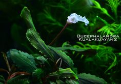Bucephalandra Kualakuayan2 FLOWER Freshwater Aquarium Plants, Planted Aquarium, Freshwater Fish, Aquarium Fish, Aquarium Ideas, Colorful Fish, Tropical Fish, Deep Sea Creatures, Aquatic Plants