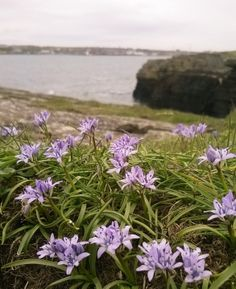 Spring squill at the North Head, Wick, Caithness