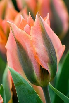 Tulip Slideshow ~~Viridiflora Tulip by Clive Nichols~~ Exotic Flowers, Amazing Flowers, Beautiful Flowers, Purple Flowers, Spring Bulbs, Flower Pictures, Spring Garden, Daffodils, Horticulture