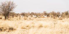 KALAHARI ARABS. Galloping Horses, South Africa, Equine Print, Animal Print, White Horses, Photographic Print Art Prints For Sale, Fine Art Prints, Horse Galloping, White Horses, Photographic Prints, Large Prints, Pet Birds, South Africa, Fuji
