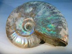Opalisierter Ammonit