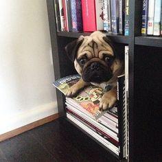 Pug who loves books is a bonus Pug!
