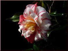 Camellia japonica 'Raspberry Ripple' (New Zealand, 1990)