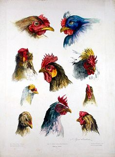 Study of heads of roosters and chickens