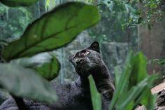 big cat art prints - Google Search