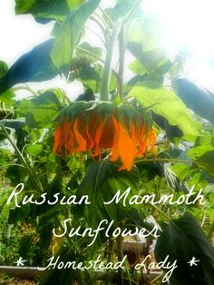 Why Grow Russian Mammoth Sunflowers - they can also be grown as a sacrifice crop for leaffooted bugs.