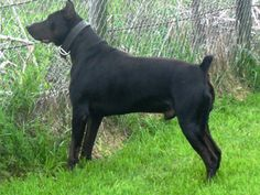 Canis Panther Dog: Breed History and Controversy http://voices.yahoo.com/canis-panther-dog-breed-history-8074798.html?cat=53