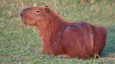 The Charismatic Capybara Is Chiller Than Your Dog