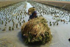 Follow @liputanbaru  Floods submerge 1000 ha rice fields in Kulon Progo [ Baca selengkapnya di liputanbaru.com ]  #republika.co.id #love #instagood #photooftheday #beautiful | Baca selengkapnya di website: liputanbaru.com #TsunamiCup