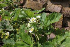Erdbeer-Blütezeit