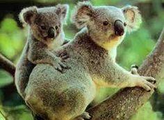 Afbeeldingsresultaat voor Australië dieren