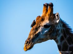 Some Giraffes I saw whilst on a walk in Limpopo, South Africa Giraffes, I Saw, Wildlife Photography, Mammals, South Africa, Walking, Photos, Pictures, Walks