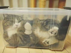 Maru in a see through box... Now I think every box they give him should be see through.