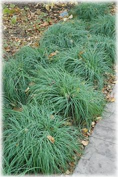 Blue Zinger Sedge: I like this option better than the other sedge.