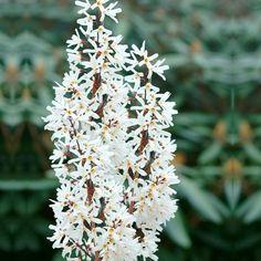 ´Sněhový zlatý déšť´. Abeliophyllum distichum. Shop, Store