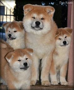 Japanese Akitas Akita Puppies, Akita Dog, Dogs And Puppies, Japanese Akita, Japanese Dogs, Big Dogs, Cute Dogs, Japanese Dog Breeds, Japon Tokyo