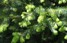 Fenyőméz készítése, fenyőméz recept, köhögés elleni szirup Spruce Tips, Wild Edibles, Berries, Stuffed Mushrooms, Herbs, Healthy, Nature, Flowers, Plants