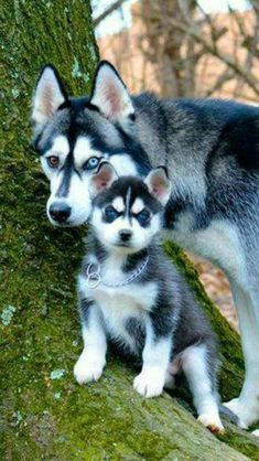 Husky and Husky puppy! What a beautiful photo! #siberianhusky