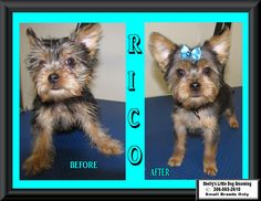 Welcome this little Yorkie - Rico! This was his first groom & he did pretty good. :)  Video's: Rico the Little Yorkie :) https://www.facebook.com/ShellyLbrn3/videos/1535191446553970/  Rico the little Yorkie falling asleep :) https://www.facebook.com/ShellyLbrn3/videos/1535190613220720/  Rico the little Yorkie fell asleep :) https://www.facebook.com/ShellyLbrn3/videos/1535189866554128/