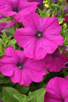 Pretty Pink Petunias ::: My Mother always had petunias of all colors in her Large flower planter on her patio. Lorr