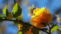 Herunterladen 1920x1080 Full HD Hintergrundbilder zweig gelbe blume licht frühling 1080p