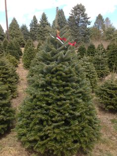 8e93caebc2a2f 14 Best Hill Farms Christmas Trees images