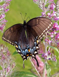Eastern Tiger Swallowtail Butterfly flickr by ~Jane