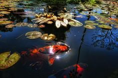 Koi by /\ltus, via Flickr | #Japan