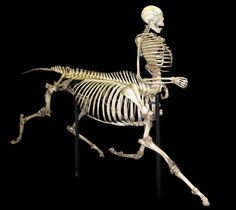 Custom Centaur Skeleton....uhh holy crap