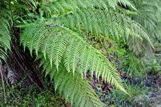 Grupo: Do grupo das pteridófitas, as samambaias são as espécies mais estudadas, mas não são as únicas do grupo. Além das samambaias e avencas, outras duas divisões pertencem ao grupo: Pterophyta (pterófitas), conhecidas como filicíneas, correspondem às samambaias e avencas; Lycophta (licófitas).