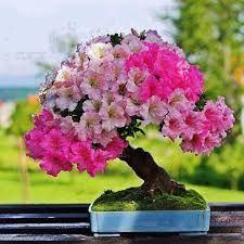 Resultado de imagem para bonsai araucaria