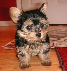 This is my dog,  Ms Tootsie Belle Boot, a Yorkshire Terrier. Here she is at 2 months old.  - Ms Darva J Boot
