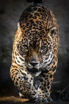 This is a dramatic perspective of a jaguar stalking prey. A narrow background makes most of this image the jaguar so plenty of oranges, yellows, blacks and whites. Subtle changes in colors make this a challenging puzzle. Beautiful Cats, Animals Beautiful, Beautiful Creatures, Big Cats, Cats And Kittens, Animals And Pets, Cute Animals, Nature Animals, Jaguar Leopard
