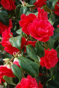 Amy and I just saw a beautiful blooming camelia bush this afternoon.  So pretty.