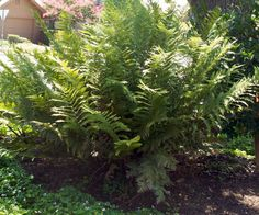 3x Woodwardia Fimbriata Giant Chain fern - Hardy semi evergreen winter foliage