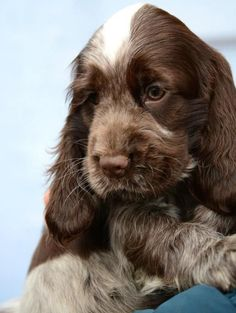 """Acquire excellent pointers on """"cocker spaniel puppies"""". They are readily available for you on our website. Cocker Spaniel Images, Golden Cocker Spaniel Puppies, Perro Cocker Spaniel, Chocolate Cocker Spaniel, Spaniel Puppies For Sale, Springer Spaniel Puppies, Sweet Dogs, Cute Baby Dogs, Cute Puppies"""