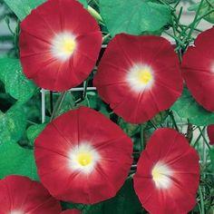 Scarlet O'Hara morning glory seeds - Scarlet Red Ipomoea seeds - Flowering Vine Seeds