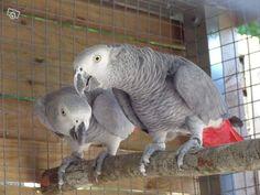 peroquet du gabon   Perroquets gris du gabon