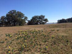 A field of daffodils, early March, Jasper County, SC