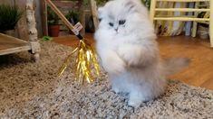 Persian Kitten Doing Flips