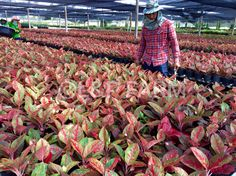 Welcome to L&P Farm: King of Euphorbia milii Euphorbia Milii, Export Business, Best Indoor Plants, Interior Plants, House Plants, Garland, Like4like, Country, Natural