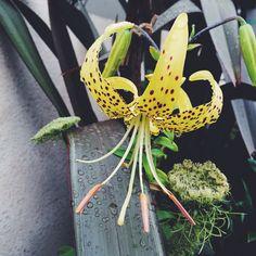 Lilium lancifolium var. flaviflorum / Jul.2015
