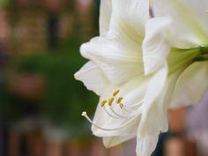 #amaryllis #blüte #weiß #rot #rosa #zweifarbig #blütenpracht #blütenwunder #winter #vorweihnachtszeit #erlebnisgärtnerei #hödnerhof #ebbs #mils #tirol #größtegärtnerei Amaryllis, Winter Diy, Innsbruck, Bird, Rose, Flowers, Plants, Poinsettia, Weihnachten