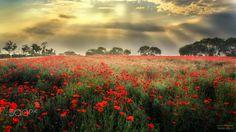 Poppy field - null