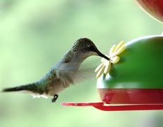 How To Clean A Hummingbird Feeder - Reduce the chance of passing on harmful bacteria through growth of seen, or unseen bacteria that is harmful to birds. Organic Gardening, Gardening Tips, Hummingbird Food, Make Time, How To Make, Water Solutions, Bug Control, Humming Bird Feeders, Brush Kit