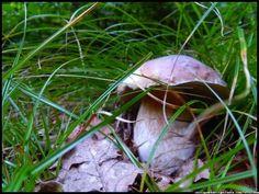 grzyb jadalny - borowik szlachetny - boletus  #grzyby #grzybobranie #borowik #szlachetny #boletus #borowiki #prawdziwki #na-grzyby #kosz-grzybów #las #dary-lasu #forest #natura #przyroda #Polska #Poland #grzyby-jadalne #polskie-grzyby #grzybiarz #Adam #Matuszyk #małopolska #Beskidy #mushrooms