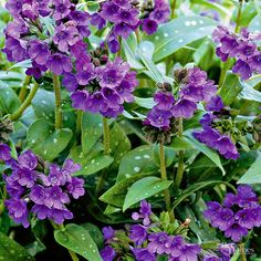 Deer Resistant:  lungwort, pulmonaria comes in a number of varieties, all of which have pretty spotted or variegated foliage with sprays of pink or blue flowers in the spring. Pulmonaria makes a great companion for deer-resistant, spring-flowering bulbs such as narcissus and scilla. This easy-care plant flourishes in slightly moist, well-drained soil and grows 6 to 12 inches tall. Zones 5-8 Deer Fact: White-tailed deer...
