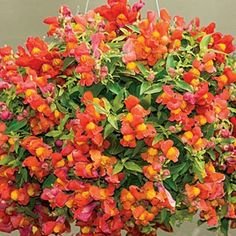 Orange Candy Showers Trailing Snapdragons - back garden and hanging plants.
